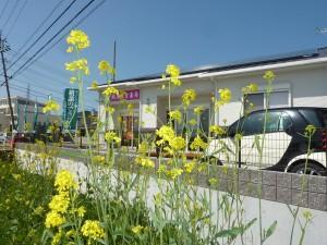 菜の花と城西漢方薬局